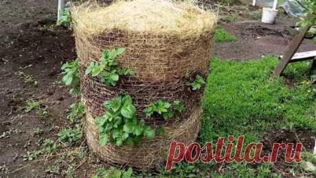 Интересная посадка картофеля