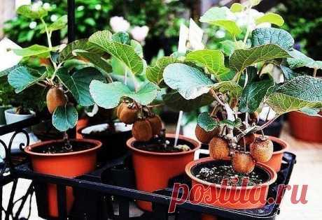 ВЫРАЩИВАЕМ КИВИ ДОМА!   Лучшее время для посева – с марта по май. Выберите в магазине наиболее спелый киви. Плод должен быть мягким, ровным, без изъянов.