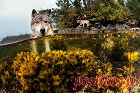 Морские волки: серые хищники, которые запросто проплывают 12 километров