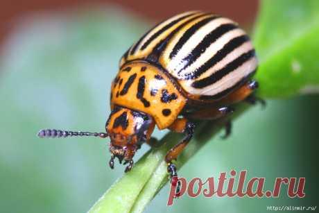 Суперрецепт! Самоуничтожение колорадского жука