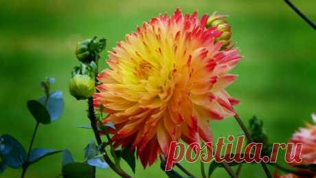 Обои на рабочий стол Цветы:Цветок, Георгин, Флора - скачать бесплатно.   Обои-на-стол.com