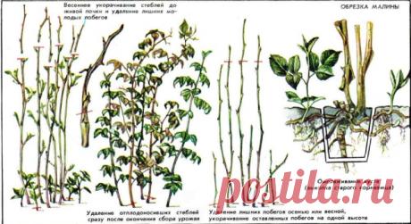 ПРАВИЛЬНАЯ ОБРЕЗКА МАЛИНЫ Сохраните, чтобы не потерять!   Чтобы получать богатый урожай, при выращивании малины, за малиной нужно поухаживать. Да и место, занимаемое ею на участке,  обязывает поддерживать растение в привлекательном виде, чему во многом  способствует своевременная обрезка.     В течение сезона малину обрезают несколько раз.   ПЕРВЫЙ - рано весной. В  этот подход проводят санитарную обрезку: удаляют поломанные, высохшие,  вымерзшие, недоразвитые, слабые, по...