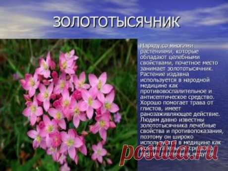 золототысячник зонтичный: 10 тыс изображений найдено в Яндекс.Картинках