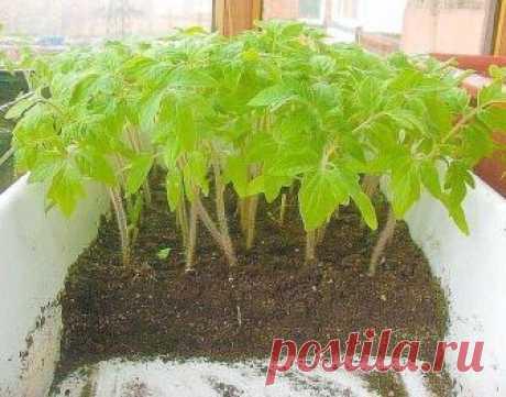 Рассаду помидоров поливают раствором йода для... / Разное / Все для дома / Pinme.ru