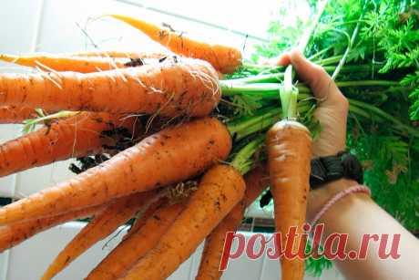 Чем полить грядки, чтобы получить Красивую, ровную и крупную Морковь? | Люблю свою дачу | Яндекс Дзен