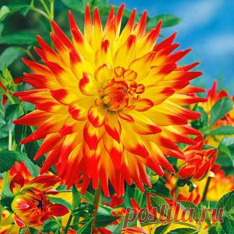 Купить Георгин кактусовый Алоха — от НПО Сады Росcии с доставкой