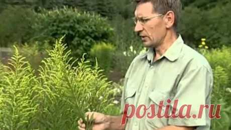Лекарственные травы.Золотарник обыкновенный - Яндекс.Видео