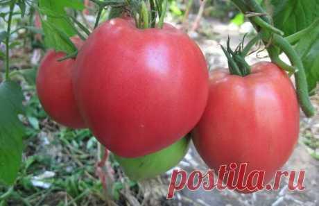 Более идеального томата для теплицы я еще не встречал. Очень органично он вписался в теплицу. | Жизнь хорошА! | Яндекс Дзен