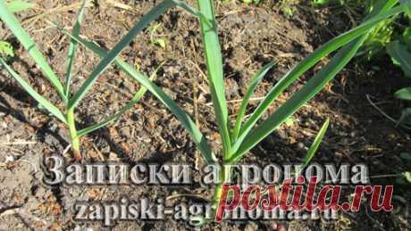 Особенности выращивания чеснока • zapiski-agronoma.ru