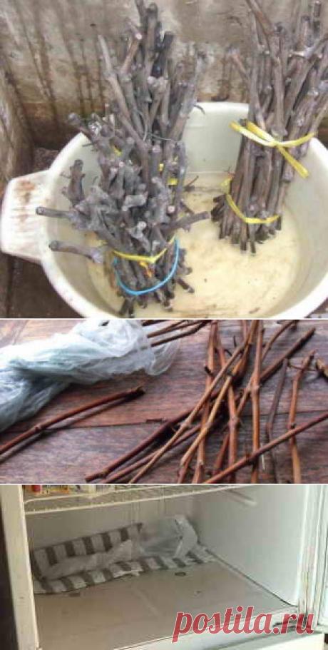 Три способа как сохранить черенки винограда зимой | Дача - впрок