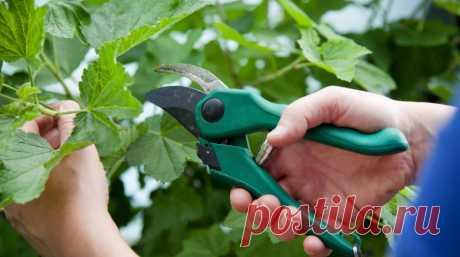 3 эффективных способа размножения смородины    Увеличить количество кустов смородины на своем участке очень просто. Черенки и отводки легко укореняются, быстро растут и хорошо плодоносят.  Размножить смородину можно разными способами: зелеными …
