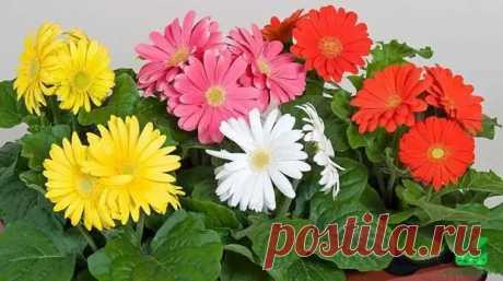 Гербера комнатная: уход в домашних условиях, фото цветка - Цветочки - медиаплатформа МирТесен