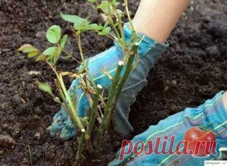 Выращиваем розы правильно — Садоводка