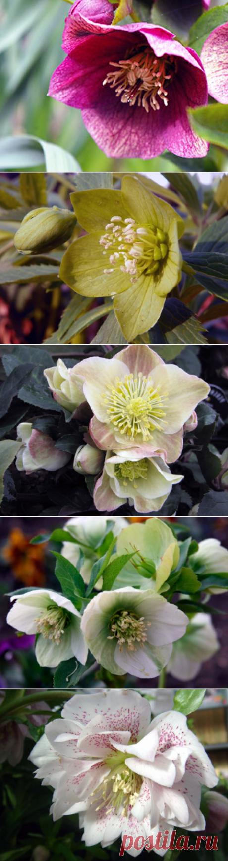 Цветок морозник – посадка и уход: фото морозника, выращивание и размножение морозника; виды и сорта морозника
