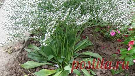 Изумительно красивый многолетний сухоцвет ЛИМОНИУМ ТАТАРСКИЙ. Как вырастить  и как за ним ухаживать. Цветёт с мая по июнь. Листья могут оставаться на стебле круглый год, даже в зимний период. На одном месте может расти до 8 лет.