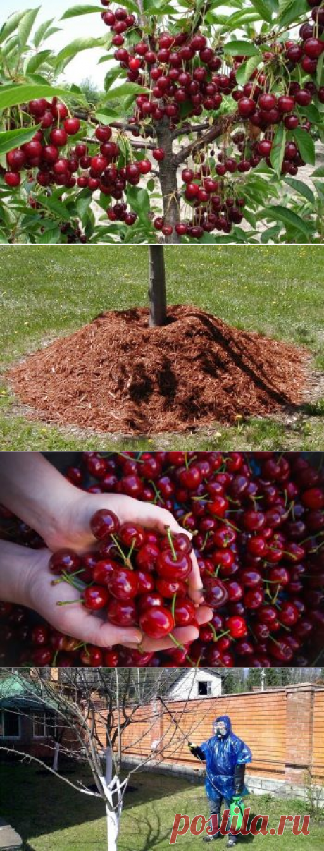 Productivity of cherry: from a hundred part, from one tree, different grades how to raise