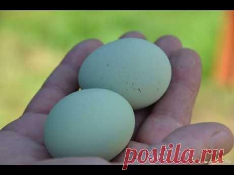 Исследование зелёных яиц китайских чернокожих кур породы Ухэйилюй