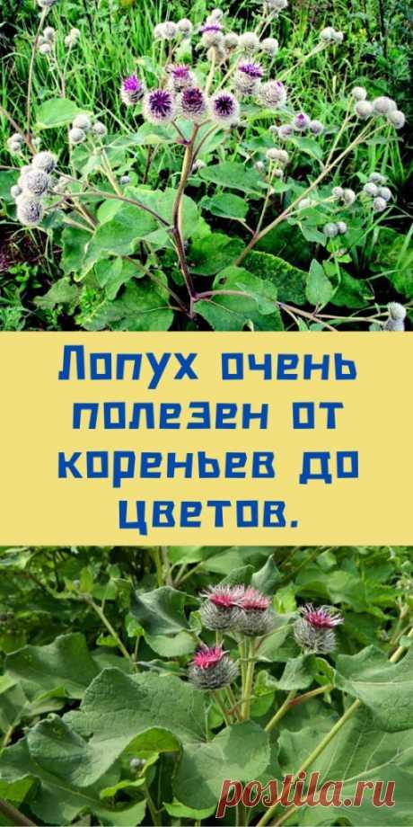 Лопух очень полезен от кореньев до цветов. - likemi.ru