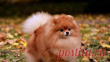 Померанский шпиц лисьего типа (25 фото): описание померанских и немецких лисичек. Чем они отличаются от щенков-медвежат?