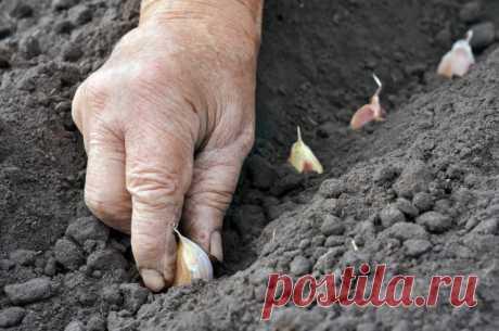 Сибирский способ посадки чеснока – урожай гарантирован | Капуста, лук, чеснок (Огород.ru)