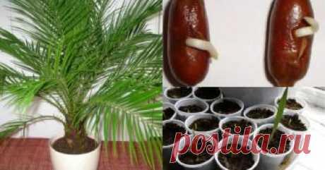 Как вырастить финиковую пальму из косточки. Простая инструкция. Не думала, что это настолько легко.