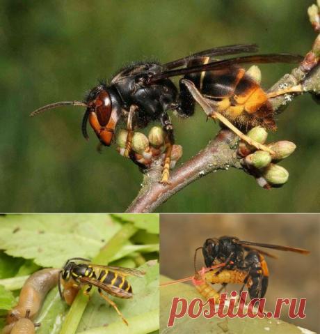 Шершни могут обгладывать молодые груши и яблони вместе с верхними побегами   ВЫЖИМКА   Яндекс Дзен