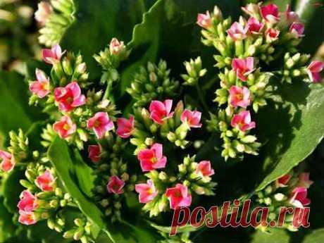 Цветущий каланхоэ лечебные свойства