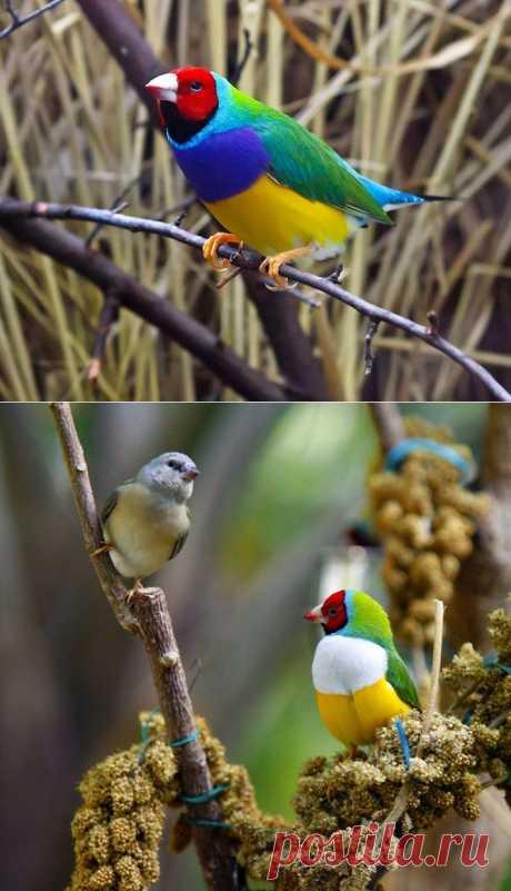 (+1) тема - Одна из самых ярких и красивых птиц - Гульдова амадина(ФОТО) | САМЫЙ СОК!