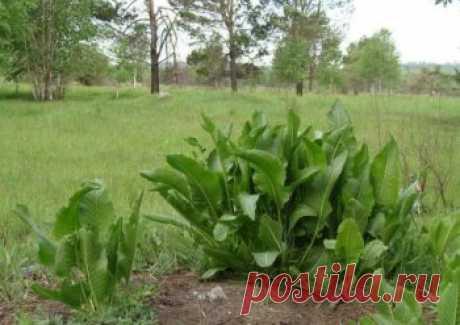 Хрен – единственное растение, способное вытягивать соль через поры кожи