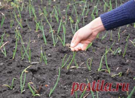 Секретный ингредиент при посадке чеснока и лука: теперь сажаю только так   Идеальный огород   Яндекс Дзен