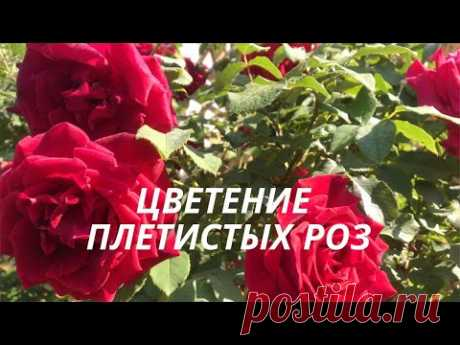 Rose//Цветение плетистых роз.//Flowering climbing roses.