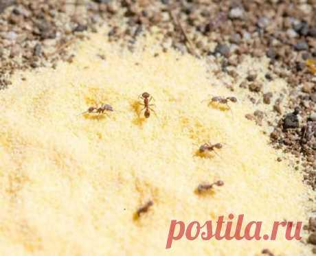 Как избавится от муравьев в огороде