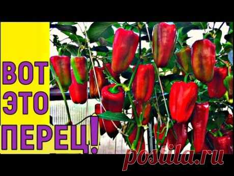 ВЫРАЩИВАНИЕ УРОЖАЙНОГО ПЕРЦА от семян до уборки урожая - YouTube