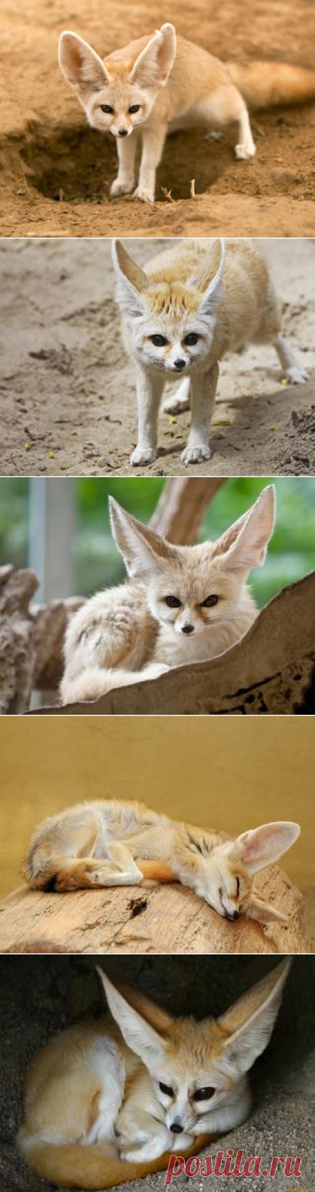 Смотреть изображения фенеков | Зооляндия
