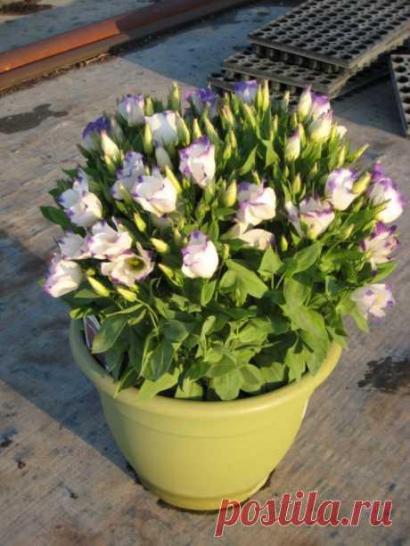 Эустома — королева букетов. Выращивание в саду и на подоконнике