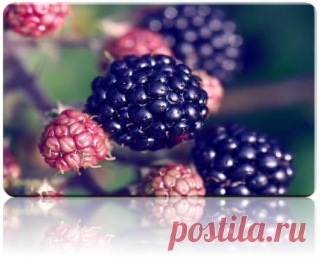 Ежевика - Выращивание ягодных культур - Каталог статей - Сад-огород
