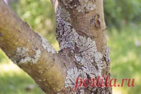 Las enfermedades de la corteza del manzano: la descripción con las fotografías y los modos del tratamiento