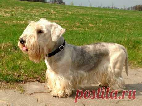 ༺🌸༻. «Чешский терьер ― редкая порода собак, выведенная в Чехословакии для норной охоты. Смышленый, преданный, дружелюбный и не агрессивный по отношению к людям. Благодаря этим качествам он может быть не только надежным помощником охотника, но и семейной собакой, компаньоном. Не линяет, но требует регулярного ухода и стрижки. » — карточка пользователя Валентина в Яндекс.Коллекциях