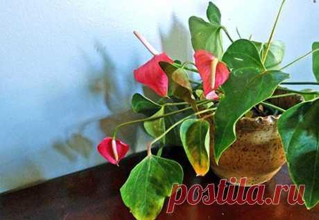 Почему ваш любимый антуриум желтеет и сохнет Род антуриумов объединяет от 800 до 1000 видов растений, родом из лесных районов Центральной и Южной Америки. Продолжительное цветение отдельных видов и необычная листва других сделала многие разновид...