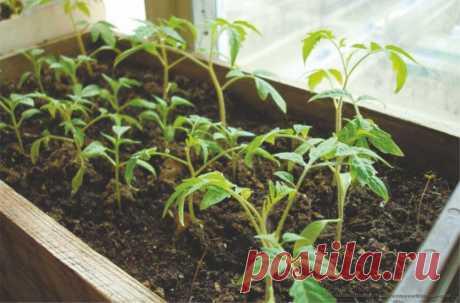 Выращивание рассады помидоров по Ушакову — 6 соток