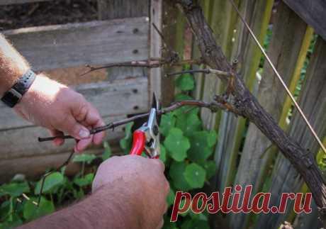 Обрезка винограда весной имеет свои особенности, которые зависят от способа формировки куста и его возраста. Советы специалистов помогут начинающим в этом деле.