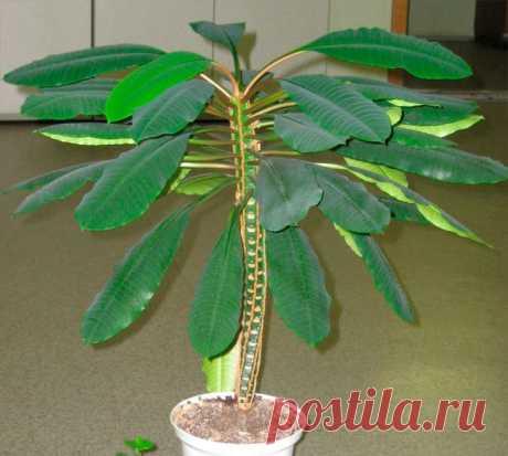 Комнатный молочай Такой род, как молочай (Euphorbia), относящийся к семейству молочайные (Euphorbiaceae), является одним из самых обширных в растительном мире. Данный род объединяет примерно 2000 видов растений, которы...