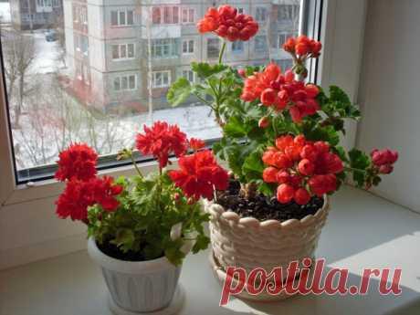 Как правильно посадить герань в горшок | Все о цветоводстве | Яндекс Дзен
