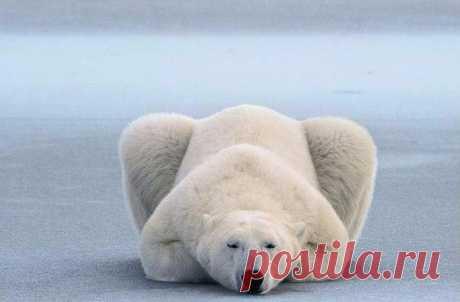 Уроки йоги от полярных медведей.