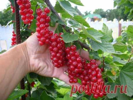На следующий год — больше ягод: что делать со смородинами после сбора урожая | Секреты садоводства | Яндекс Дзен