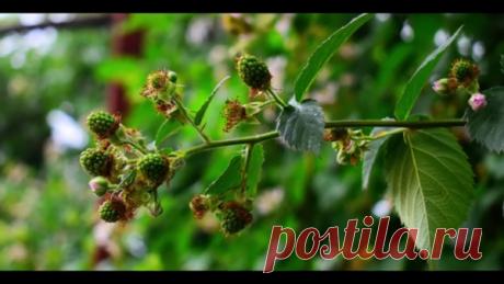 Ежемалина ягода. мои ягодные кустарники|видео влог 2019 HD | Aziz Red | Яндекс Дзен  Малинно-ежевичные гибриды