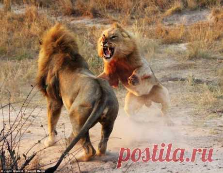 Молодого льва спасли его подруги.