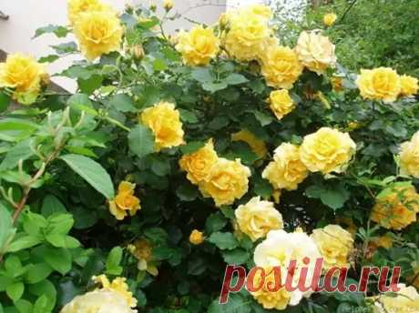 Плетистые розы для сада с продолжительным цветением - Цветочки - медиаплатформа МирТесен