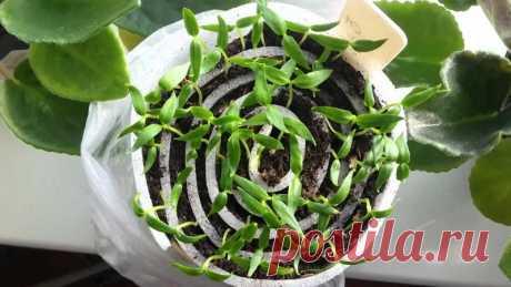 Правила выращивания рассады в рулонах Как правильно выращивать рассаду для огорода в рулонах.