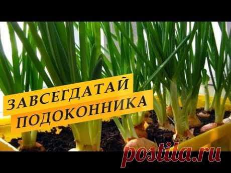 Выращивание зеленого лука дома на подоконнике. Выращивание зеленого лука дома на подоконнике, как вырастить лук дома, способы выращивания зеленого лука на перо. Какой способ лучше? Как вырастить зеленый лук? В этом видео сравниваю разные способы выращивания- лук в воде, лук в опилках в пакете, гидропоника, выращивание зеленого лука в грунте. Мой любимый способ- лук, выращенный в земле, способ простой, хороший, а лук вырастает очень вкусный. Замачивание лука, посадка лука.